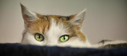 face of tricolor Cat with green eyes