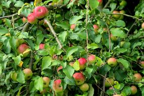 red Apple Fruit Tree green