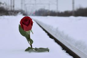 Red Rose white Snow