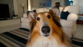 Collie photo in the living room