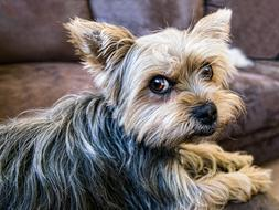 yorkshire terrier is lying on the couch
