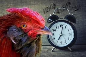 photo of the head of a rooster and an alarm clock