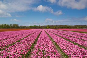 photo of a purple tulip plantation in the Netherlands
