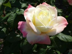 yellow and pink Rose blooming in garden