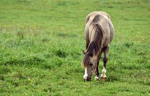 brown Horse grazing on Meadow