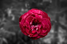 fluffy Red Rose at grey background