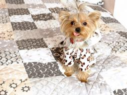 yorkshire terrier Doggy in clothe on bed
