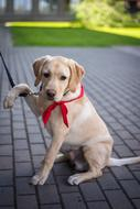 golden Retriever Dog with red scarf sits leashed on pavement