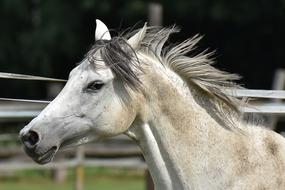 head of grey Horse in corral