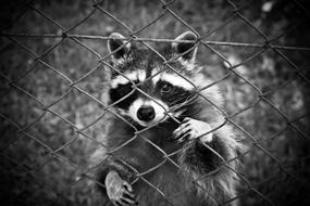Raccoon looking through wire grid fence