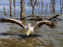 pelican with wide open wings and beak, kenya, lake naivasha