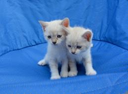 two white kittens on a blue armchair