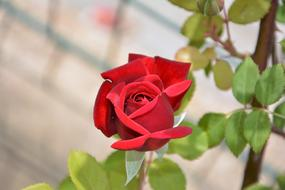 red green Rose Plant