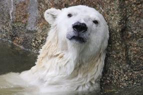 head of depressed Polar Bear at stone wall, Climate Change