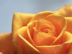macro photo of a yellow rose bud on wallpaper