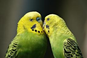 Parrots, Couple of parakeets kissing