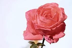 Salmon color Rose at light background