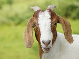 photo portrait of a brown-white goat