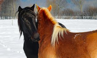 black and brown horses in love in winter pasture