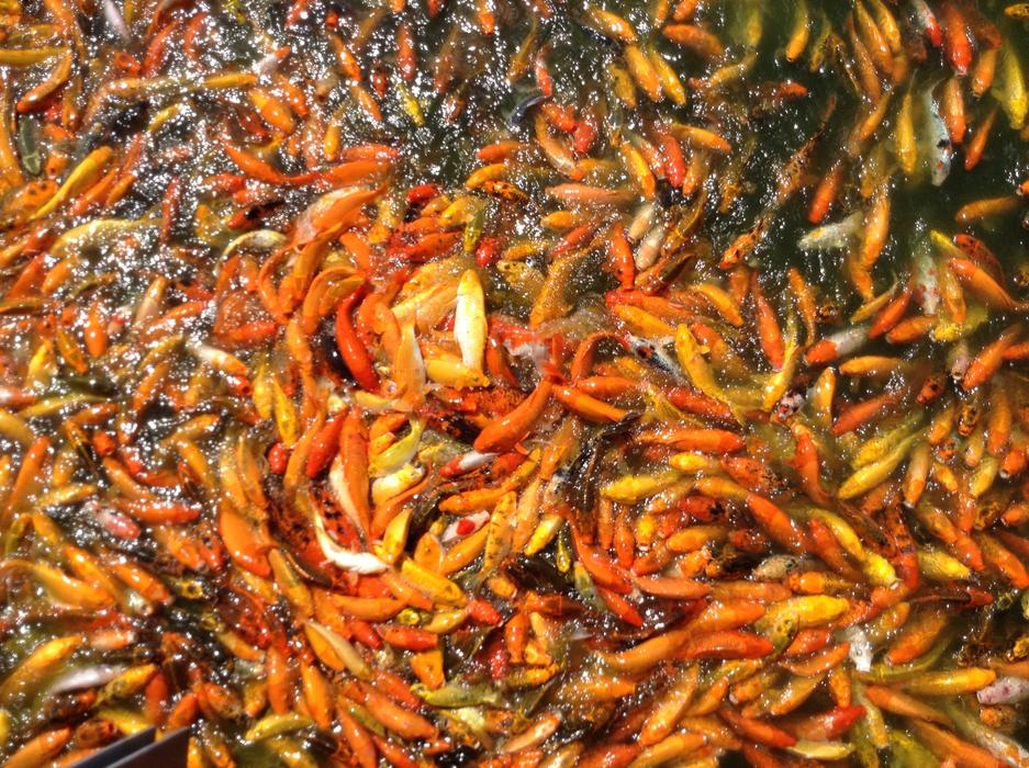lot of hot colored Koi Fish in Pond