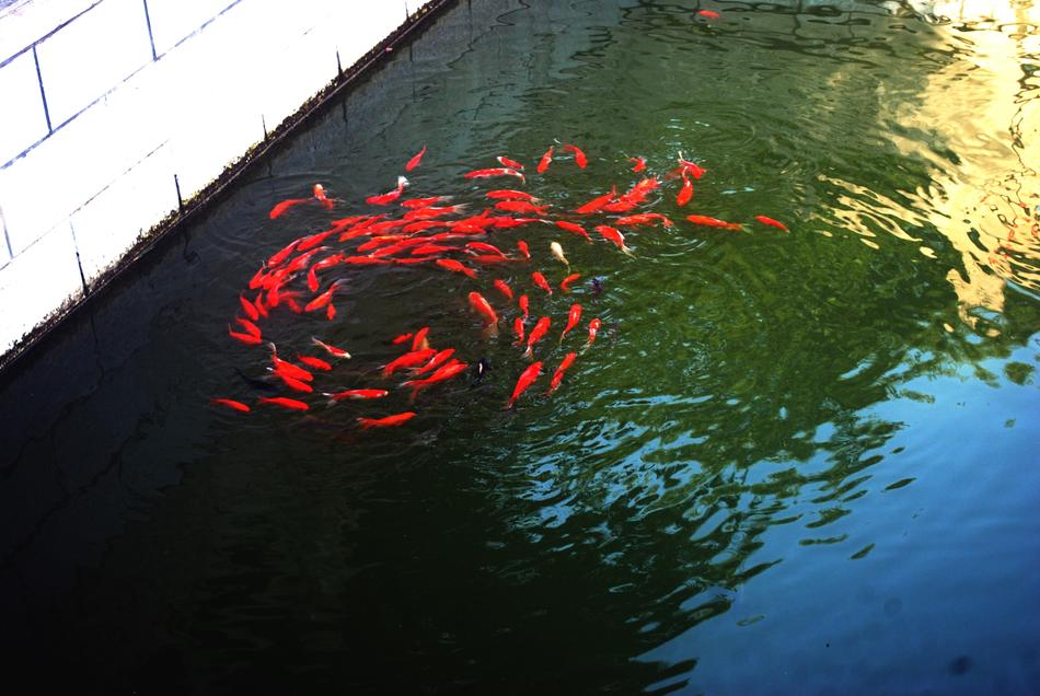 red swirl of koi fish in Pond