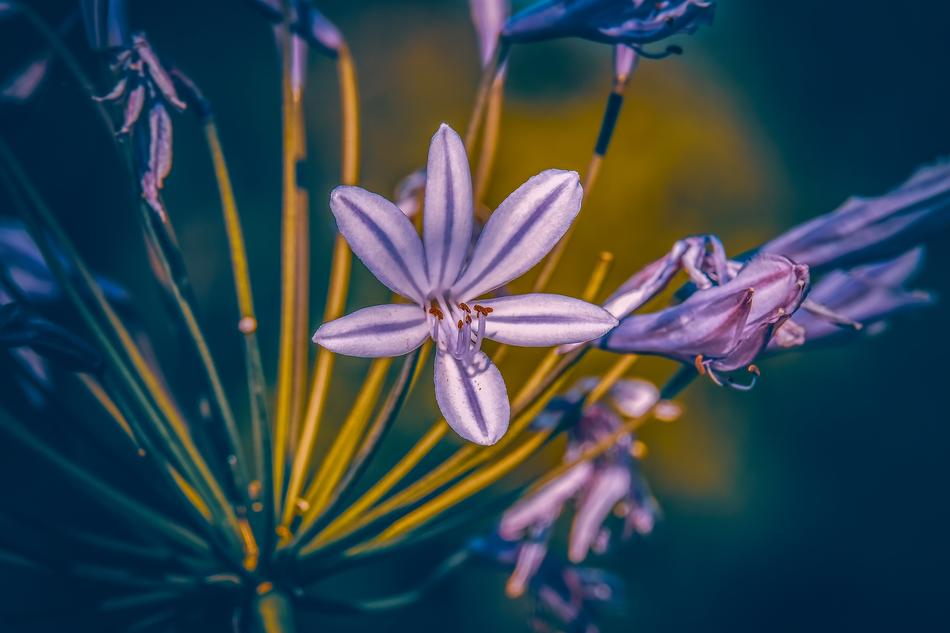Agapanthus Lily flowers