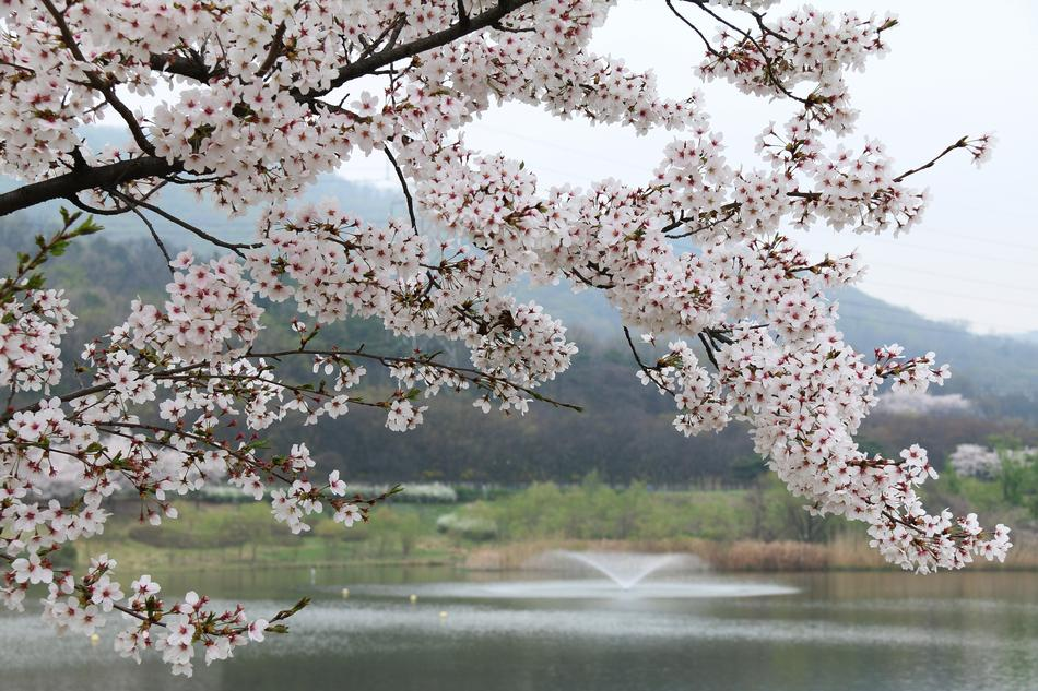 blooming cherry tree on a background of a park lake