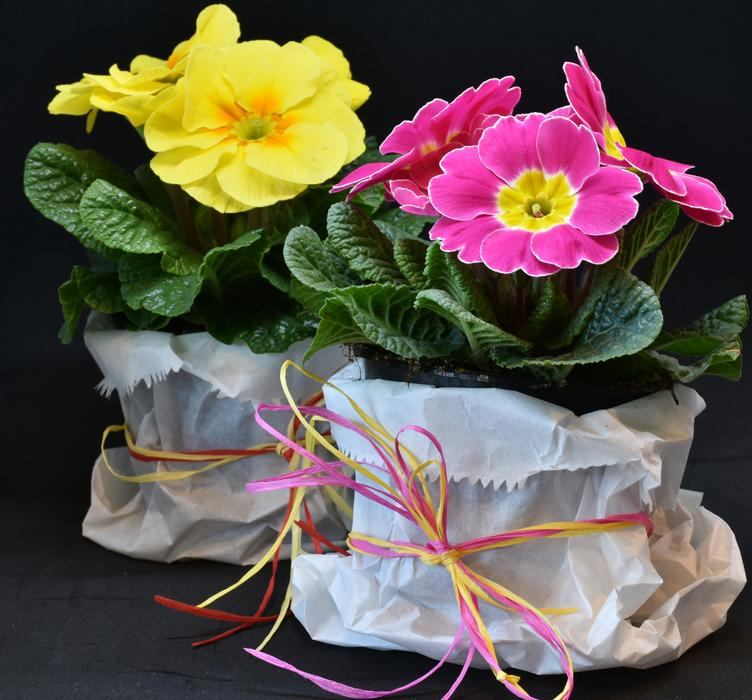 Hybrid Primroses, potted plants