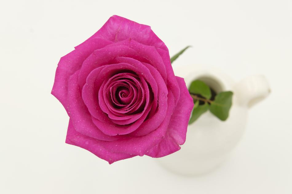goodly pink Rose