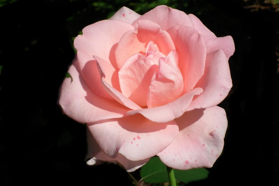 goodly Flower Rose Pink