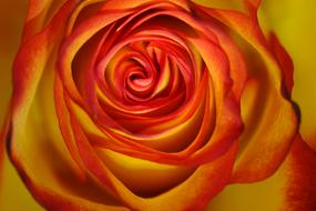 red and orange Rose, top view, macro