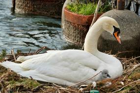 white Swan with chick on nest at Water
