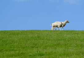 white Sheep with lamb on green lawn at blue sky