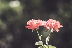 two pink roses at green bokeh background