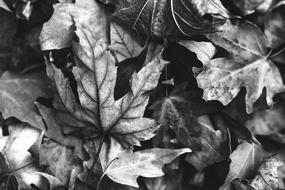Autumn Leaves black and white