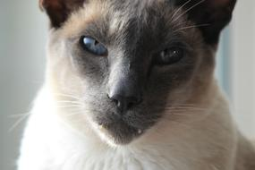 head of angry Siamese Cat close up