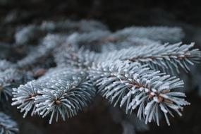 Frost Branch Pine white