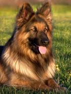 Dog German Shepherd green grass