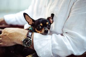 Chihuahua Dog Tiny man hand watch