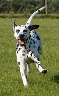 photo of a happy running dalmatian