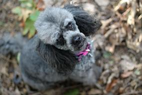 Poodle, grey Miniature dog looking up