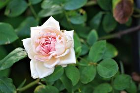 Rose Garden Flower white pink