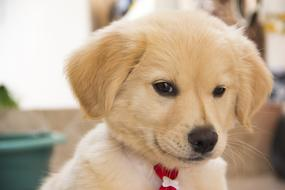 Cute golden Puppy Dog