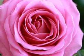 Rose Love Flower pink