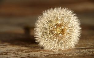 Dandelion Seeds white cute