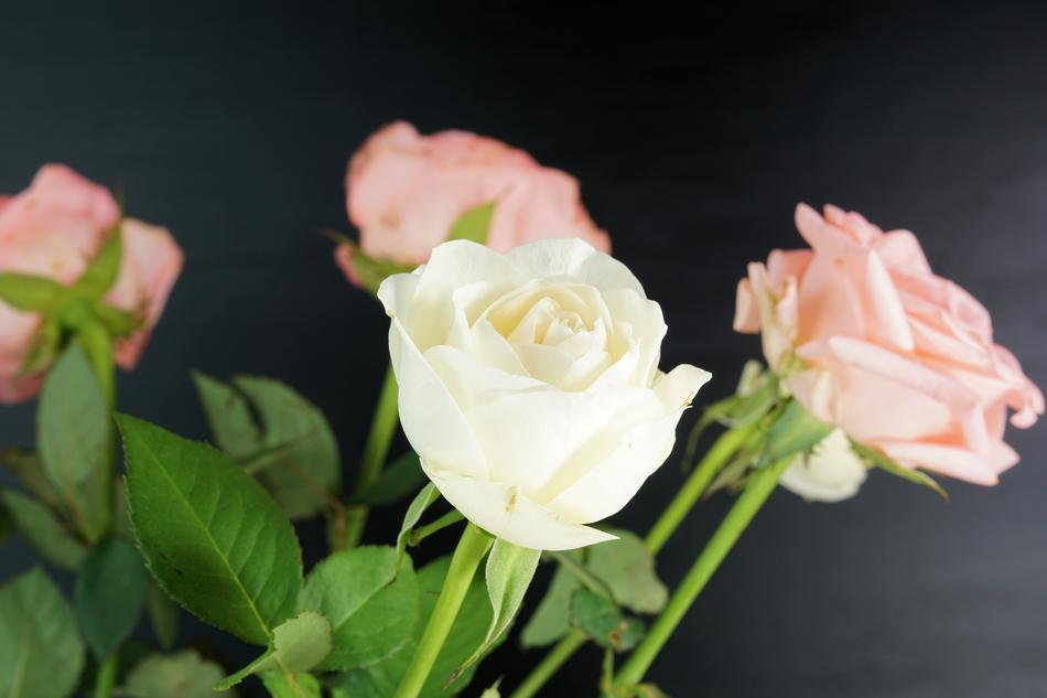white pink Rose Flowers
