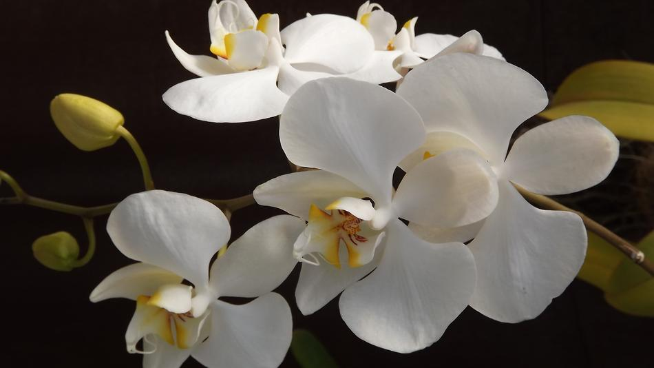 white Orquidea Flower