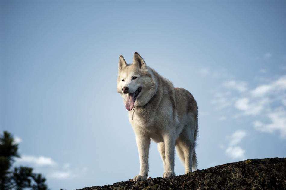 Siberian Husky Dog blue sky
