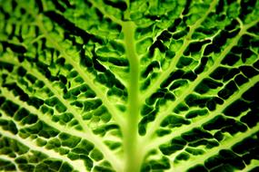 macro photo of savoy cabbage leaf