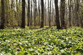 fragrant bear garlic in the forest